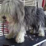 Bearded Collie Avant